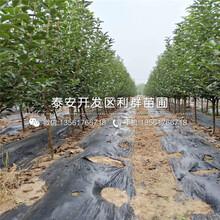 红心苹果树苗批发、红心苹果树苗基地图片