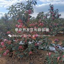 宫藤富士苹果苗批发、宫藤富士苹果苗价格及报价图片