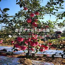 2020年2020年苹果树苗价格、2020年苹果树苗多少钱一棵图片