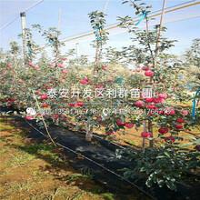 红色之恋苹果苗、红色之恋苹果苗批发图片