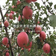 秦冠蘋果苗出售基地、秦冠蘋果苗價格及報價圖片