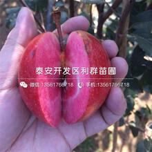 烟富苹果树苗新品种、烟富苹果树苗多少钱一棵图片