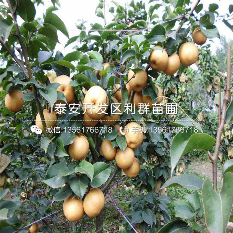 柱狀梨苗出售、柱狀梨苗報價及價格