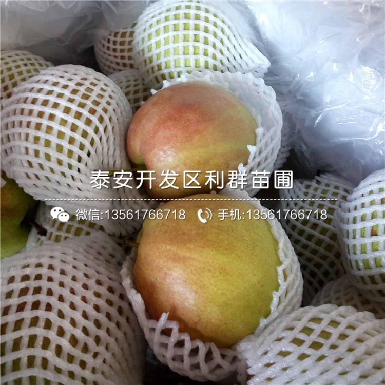 批发新世纪梨树苗、新世纪梨树苗价格