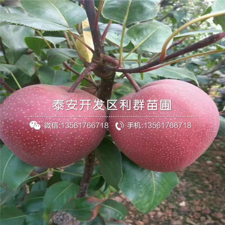 山东红梨一号梨苗、红梨一号梨苗价格