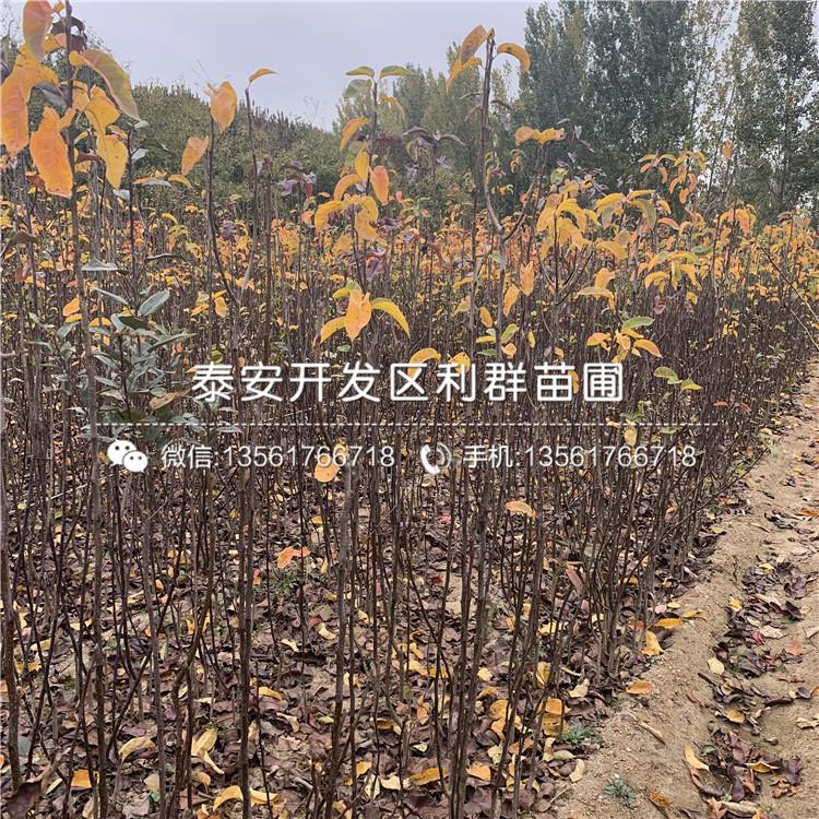 翠冠梨树苗、翠冠梨树苗基地