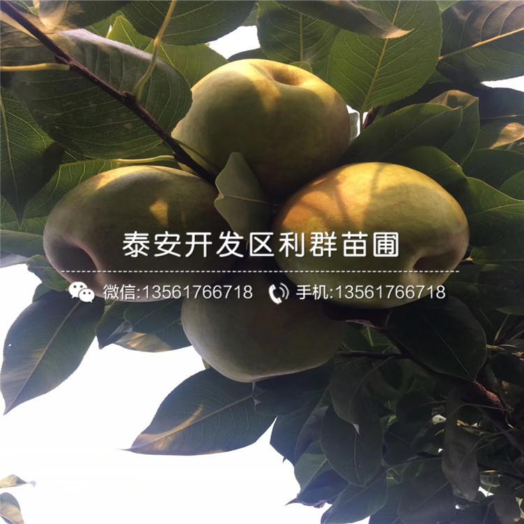 香水梨苗批发、香水梨苗基地