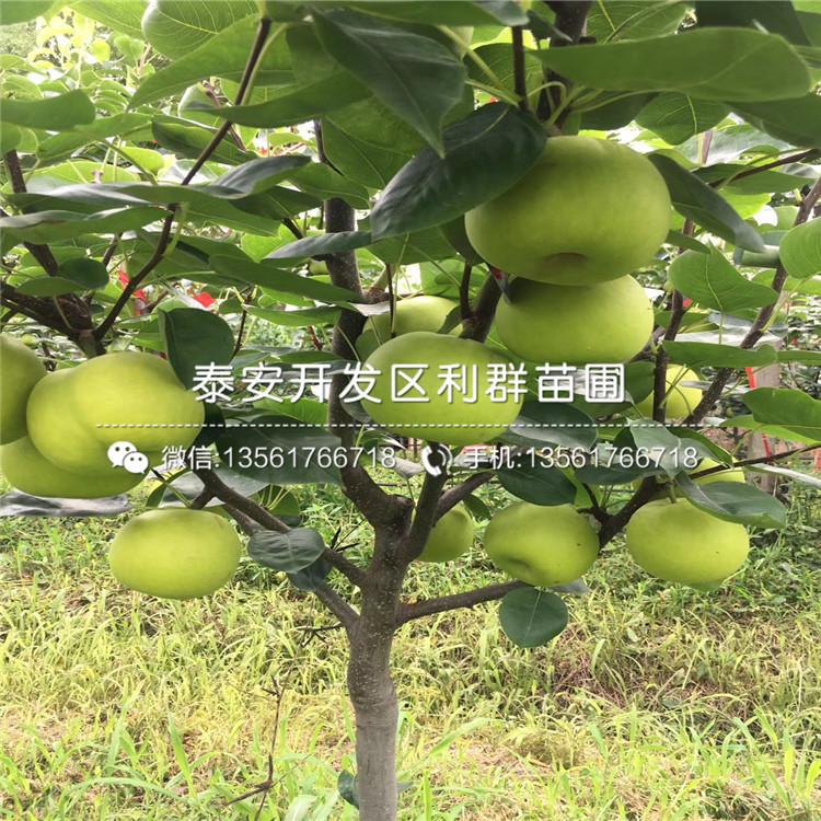 4公分梨樹苗價格、4公分梨樹苗出售