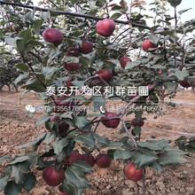 5公分幸水梨樹苗、5公分幸水梨樹苗價格及報價圖片
