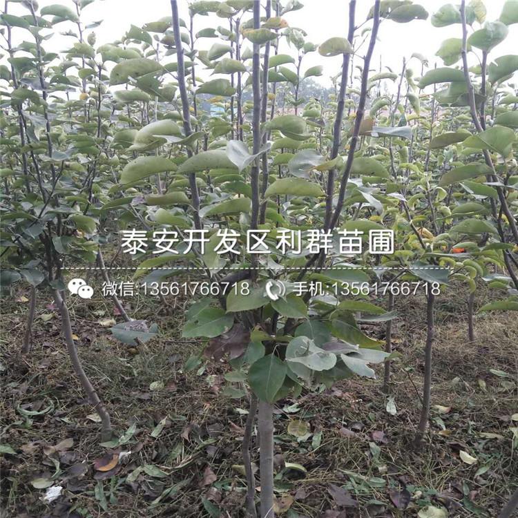 早红考密斯梨树苗报价、2020年早红考密斯梨树苗价格