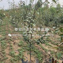 梨樹苗品種圖片