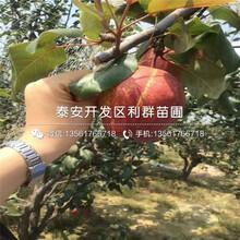 1公分梨苗價格及報價圖片