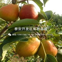 黑梨苗品種、黑梨苗價格及基地圖片