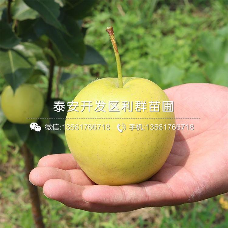 山东3公分梨树苗、3公分梨树苗价格及基地
