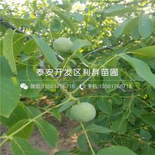 香玲核桃樹苗、香玲核桃樹苗價位圖片