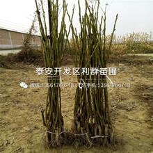 薄殼香核桃樹苗新品種圖片