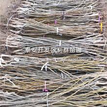 薄殼核桃樹苗出售、薄殼核桃樹苗價格圖片