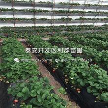 德马草莓苗价格、德马草莓苗价格及基地图片
