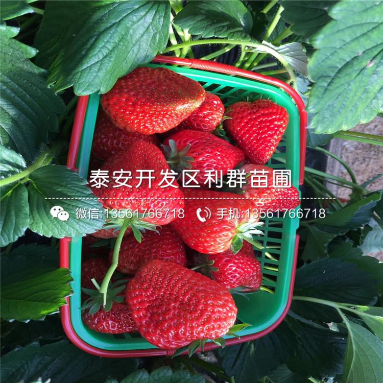 圣德草莓苗、圣德草莓苗价格及基地