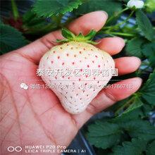 京凝香草莓苗、京凝香草莓苗基地图片