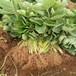出售山东草莓苗、出售山东草莓苗价格及基地