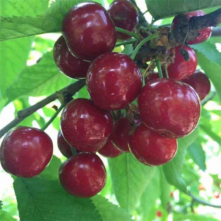 烏皮櫻桃樹苗、烏皮櫻桃樹苗價錢