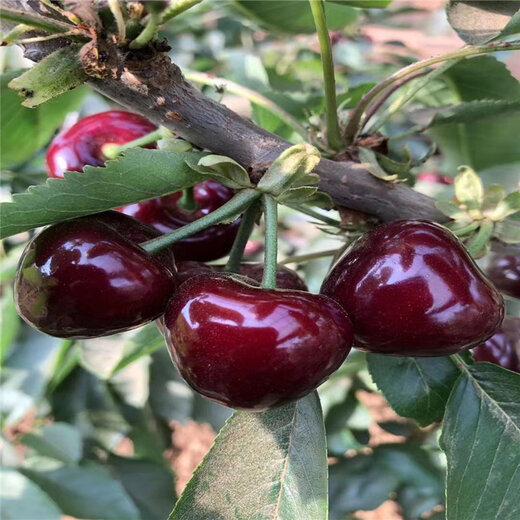 俄羅斯8號大櫻桃樹苗批發、俄羅斯8號大櫻桃樹苗價格及報價