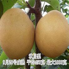 秋月梨树苗价格,梨树苗批发图片