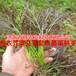 紫衣芥菜种子新奇特保健蔬菜春秋播种有机种植