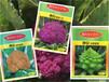 金皇后营养丰富黄色花菜种子基地用种特菜种子批发杂?#40644;?#36136;