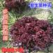 紫色生菜种子红皱曲叶生菜籽四季播蔬菜种子盆栽田园中早熟