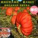 超級巨型大南瓜種子觀光使用都可以庭院露天種植特大南瓜種子