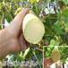 天下奇瓜批发砍瓜种子随吃随砍随砍随长特菜长达1.5米南瓜种子包邮