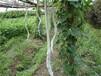 批发日本特长蛇豆种子盆栽蔬菜蛇瓜春夏季爬藤庭院蔬菜种子