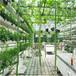巨型一号特长丝瓜种子白籽长丝瓜种子最长可长3米的大田丝瓜