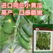 荷兰水果黄瓜种子原装进口非常好吃产量高一代杂交种
