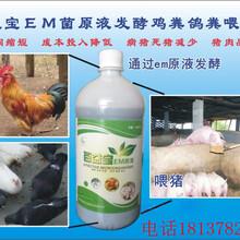 将泔水(潲水)发酵成猪饲料百益宝em菌全国销售图片