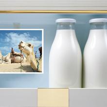 伊犁雪蓮乳業純駱駝奶粉廠家招代理商圖片