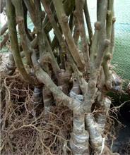 周至金桃猕猴桃树苗,30年培育经验,欢迎电话详询!图片