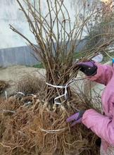 基地培育东红猕猴桃树苗丰产型,欢迎电话详询!图片