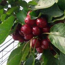 黑珍珠樱桃苗基地大樱桃树苗价格