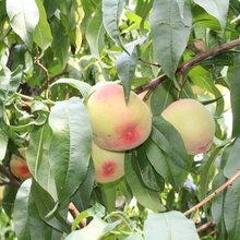 四川自貢新品種桃樹苗最低價格圖片