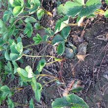 广西壮族自治区梧州佐贺清香草莓苗最低报价