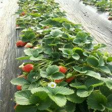 上海佐贺清香草莓苗最低报价