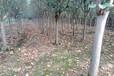 西府海棠價格、北美系列海棠批發基地直銷海棠樹苗