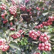 大金星山楂苗價格甜紅籽山楂苗直銷泰安供應山楂苗圖片
