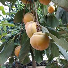 環翠富有柿子樹苗果園管理圖片