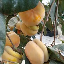 舞鋼市鏡面柿子樹苗自產自銷圖片