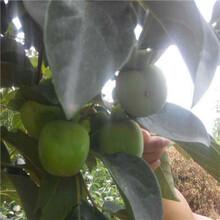 舒城甜柿子樹苗生產基地圖片
