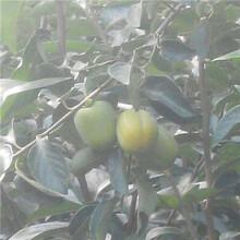 新密市次郎甜柿子樹苗結果早圖片